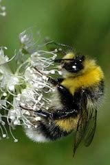Large garden bumble bee