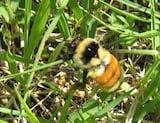 Orange-tailed bumble bee