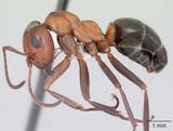 Allegheny mound ant