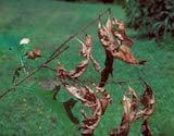 Oak shoot sawfly