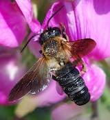 Giant resin bee