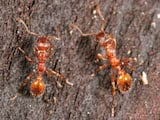 European imported fire ant