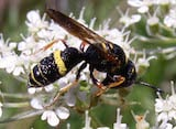 Sphecid wasp