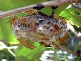 Macao paper wasp