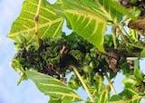 Erythrina gall wasp