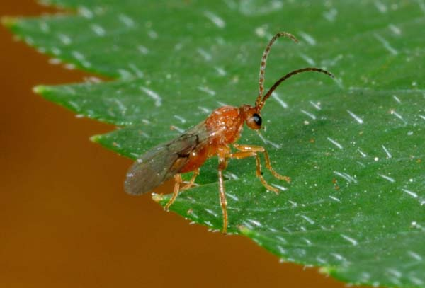 Oak apple gall wasp | Biorhiza pallida photo