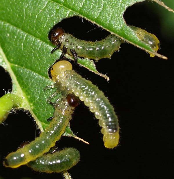 Elm sawfly | Cimbex americana photo