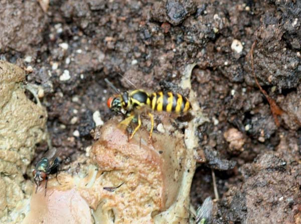 Prairie yellowjacket | Vespula atropilosa photo