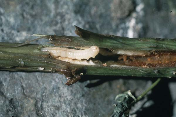 Raspberry Horntail | Hartigia cressonii photo