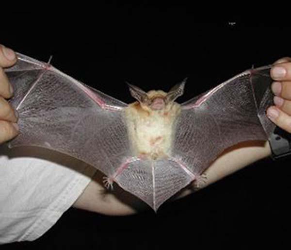Pallid Bat | Antrozous pallidus photo