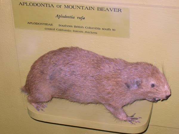 Mountain Beaver | Aplodontia rufa photo
