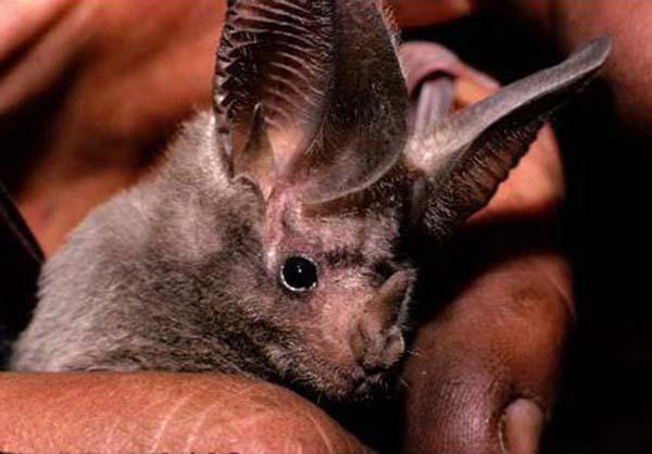 California Leaf-nosed Bat | Macrotus californicus photo