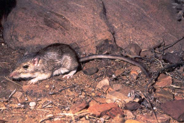 Bailey's Pocket Mouse | Chaetodipus baileyi photo