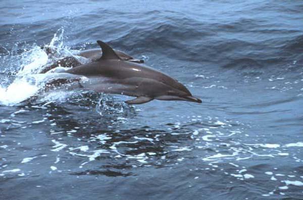 Clymene Dolphin   Stenella clymene photo