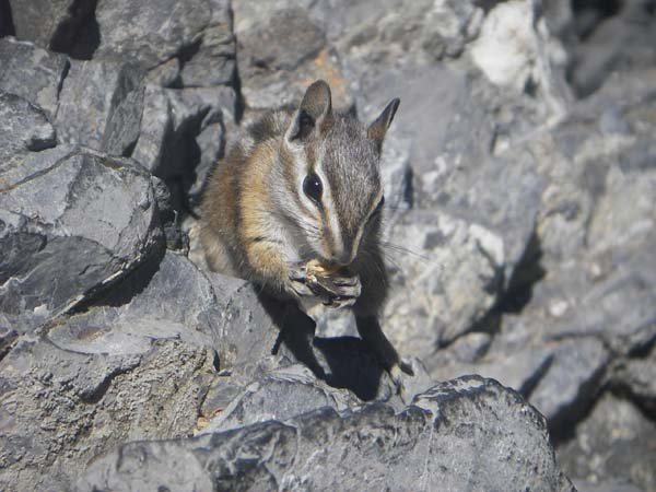 Colorado Chipmunk | Tamias quadrivittatus photo