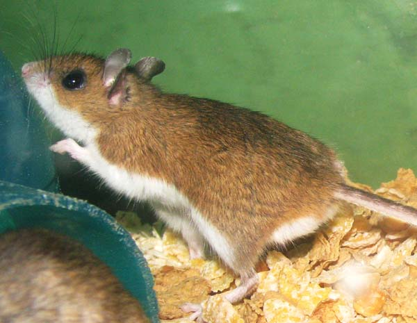 Deermouse | Peromyscus maniculatus photo