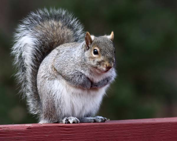 Eastern Gray Squirrel | Sciurus carolinensis photo