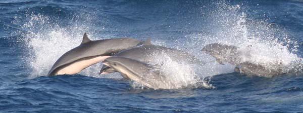 Fraser's Dolphin   Lagenodelphis hosei photo