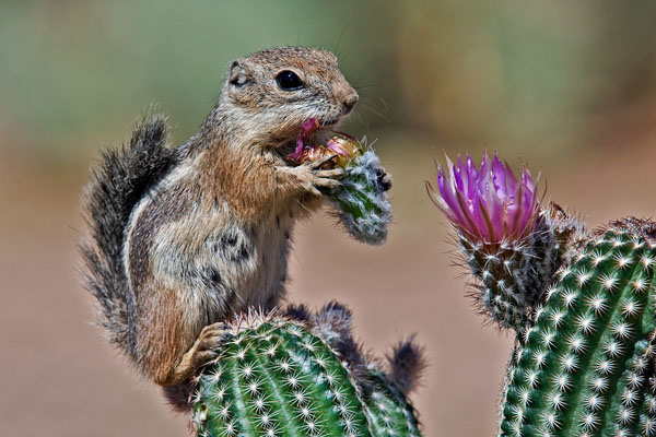 Harris's Antelope Squirrel | Ammospermophilus harrisii photo