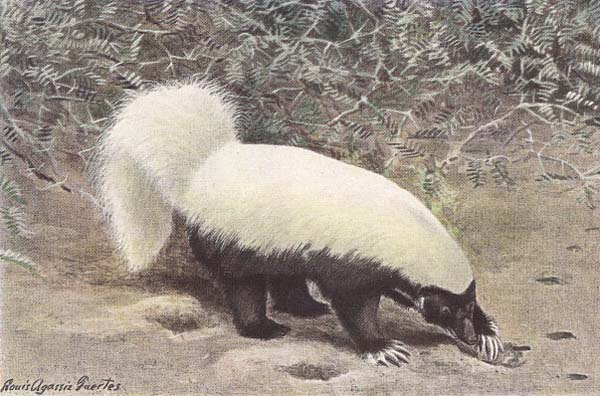 North American Hog-nosed Skunk | Conepatus leuconotus photo