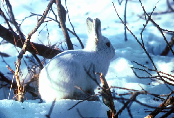 Alaskan Hare | Lepus othus photo