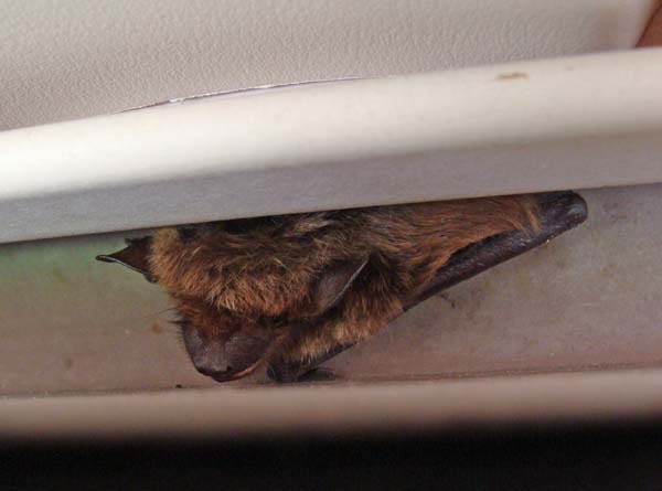 Little Brown Bat | Myotis lucifugus photo
