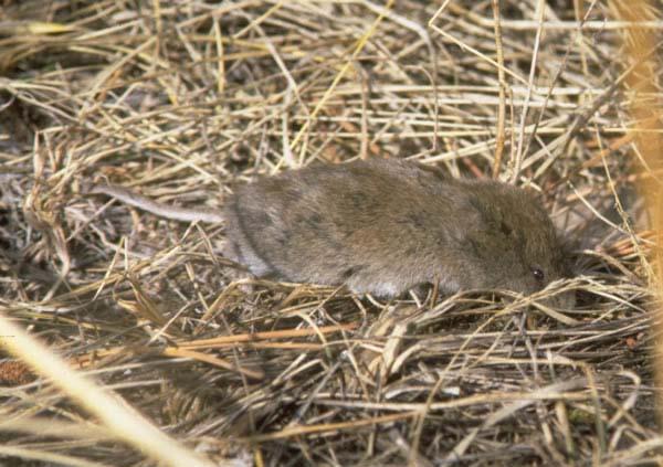Long-tailed Vole | Microtus longicaudus photo
