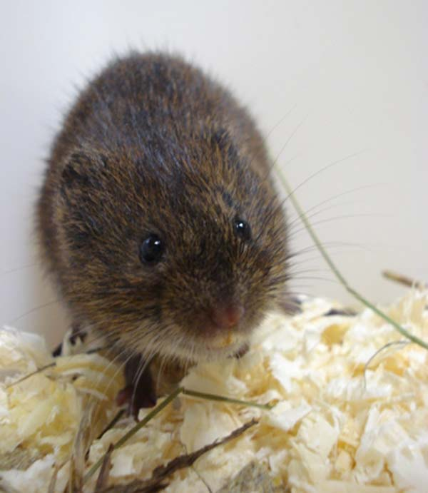 Tundra Vole | Microtus oeconomus photo