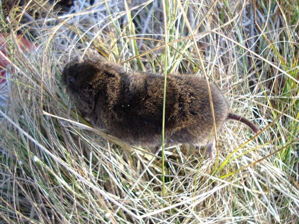 Tundra Vole | Microtus oeconomus photo