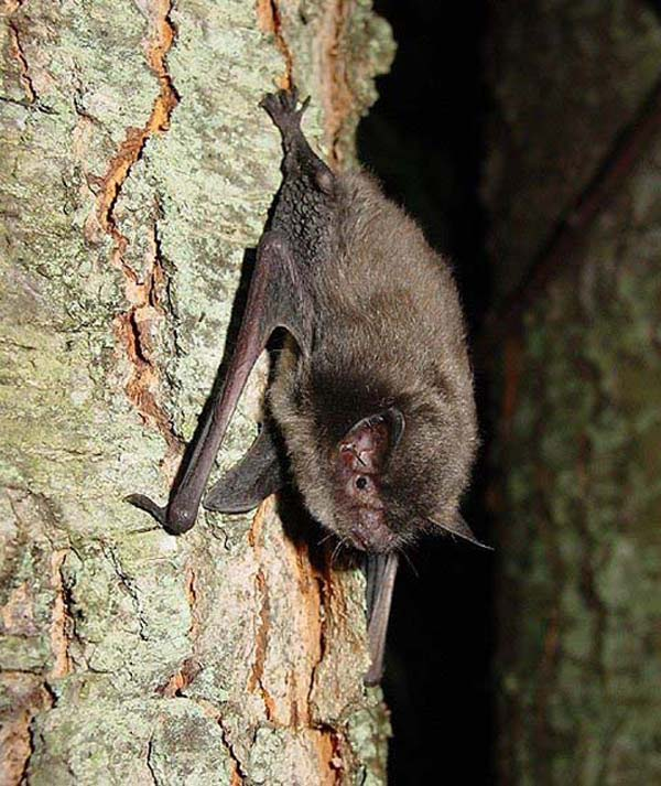 Indiana Bat   Myotis sodalis photo