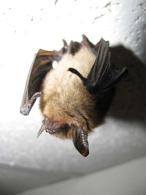 Northern Long-eared Myotis | Myotis septentrionalis photo