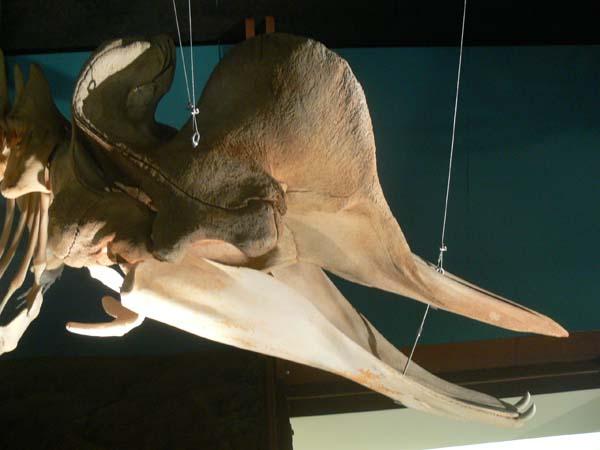Northern Bottlenosed Whale | Hyperoodon ampullatus photo