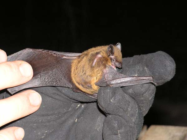 Evening Bat | Nycticeius humeralis photo