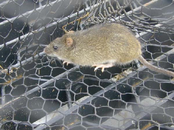 Marsh Rice Rat | Oryzomys palustris photo