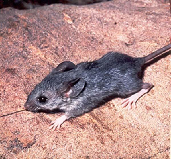 Cactus Mouse | Peromyscus eremicus photo