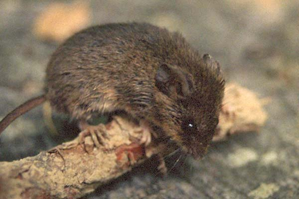 Eastern Harvest Mouse   Reithrodontomys humulis photo