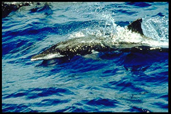 Rough-toothed Dolphin | Steno bredanensis photo