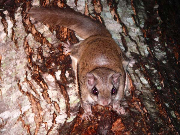 Southern Flying Squirrel   Glaucomys volans photo