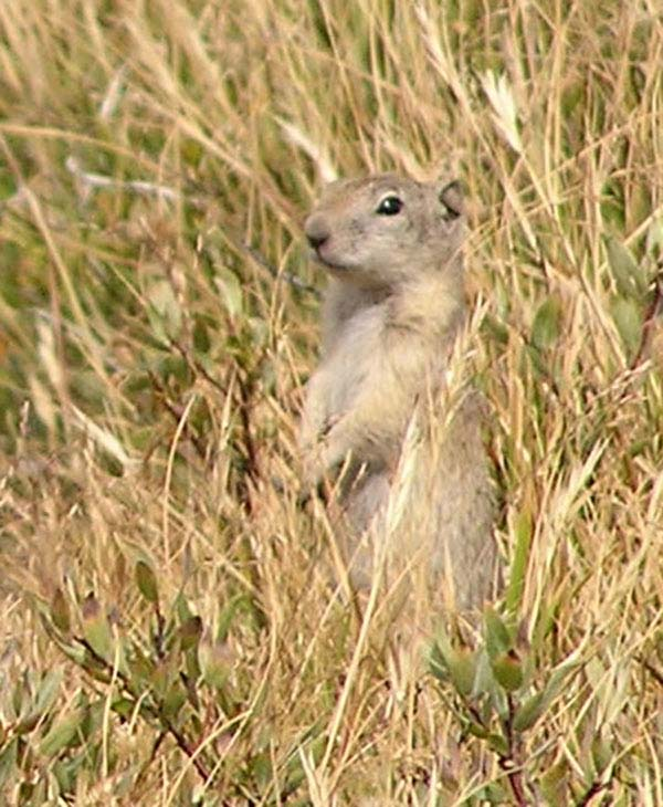 Belding's Ground Squirrel | Spermophilus beldingi photo
