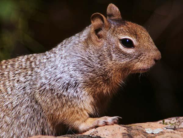 Rock Squirrel   Spermophilus variegatus photo