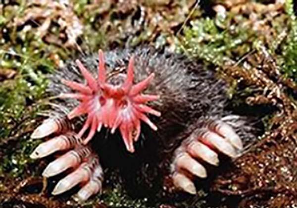 Star-nosed Mole | Condylura cristata photo