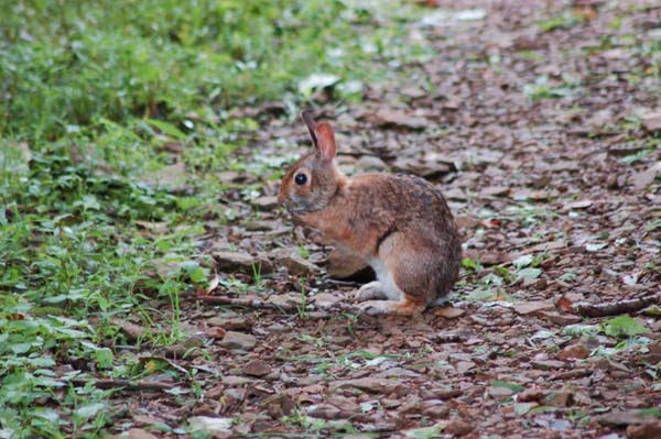 Appalachian Cottontail | Sylvilagus obscurus photo