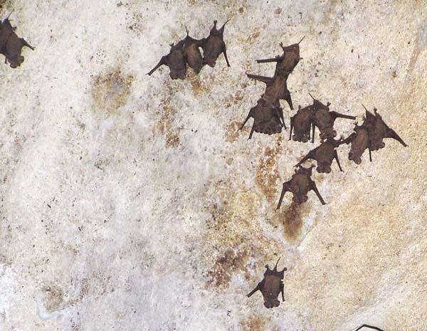Brazilian Free-tailed Bat   Tadarida brasiliensis photo