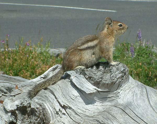 Alpine Chipmunk | Tamias alpinus photo