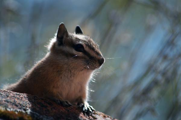Cliff Chipmunk | Tamias dorsalis photo