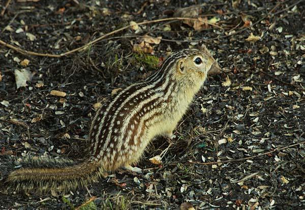 Thirteen-lined Ground Squirrel | Spermophilus tridecemlineatus photo