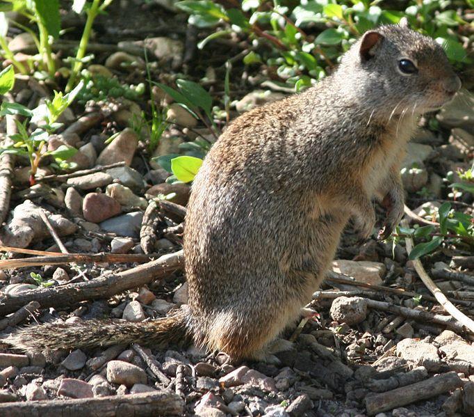 Uinta Ground Squirrel | Spermophilus armatus photo