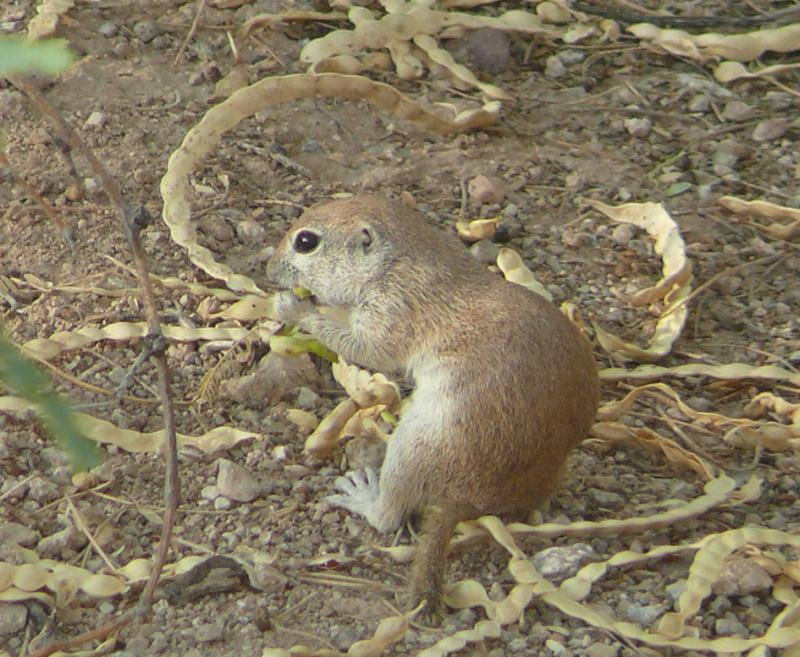 Round-tailed Ground Squirrel | Spermophilus tereticaudus photo