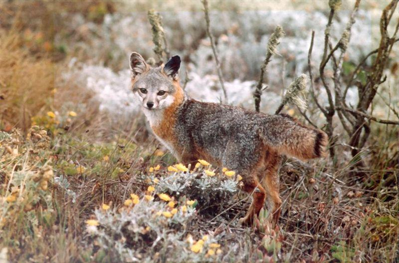 Island Gray Fox | Urocyon littoralis photo
