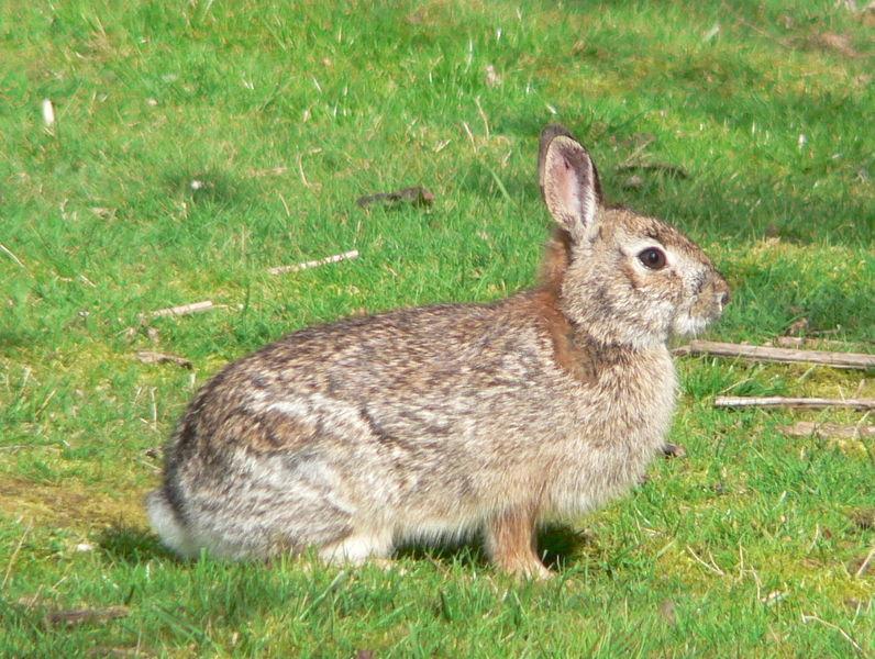 Brush Rabbit | Sylvilagus bachmani photo